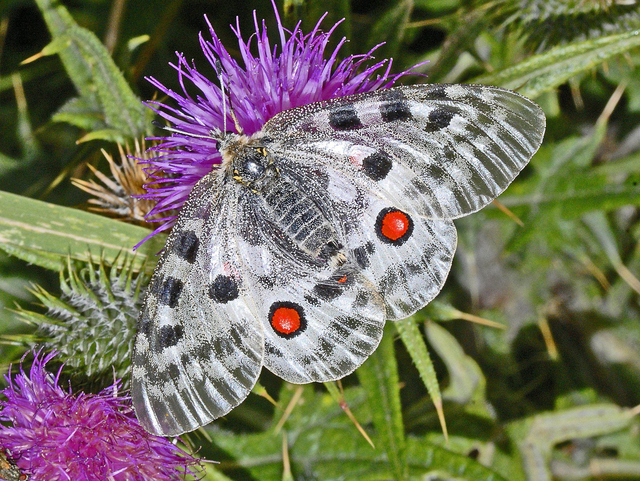 https://flic.kr/p/zQ1fcE | Papilionidae - Parnassius apollo-0