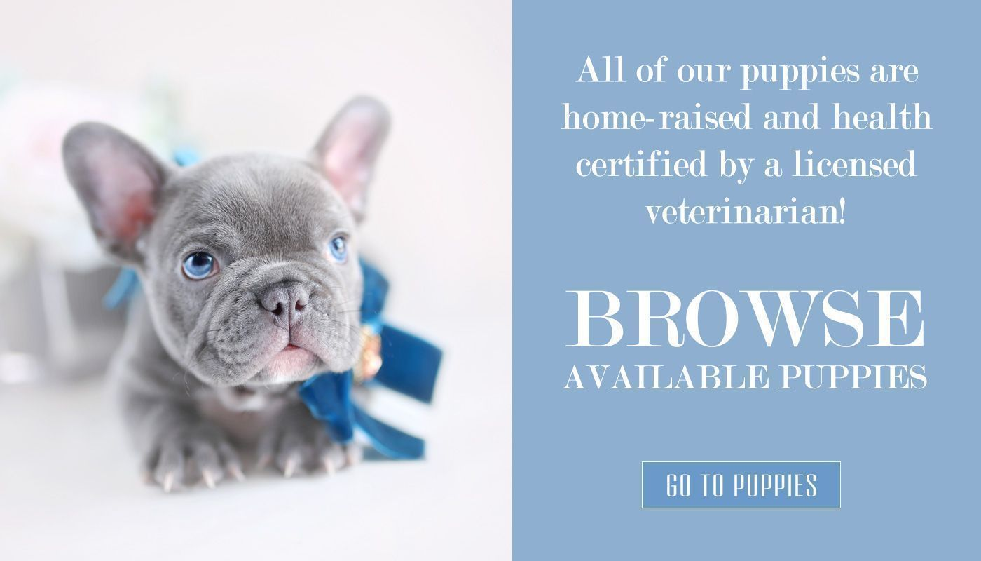 Teacup Puppies For Sale French Bulldog Puppy Dog Boutique