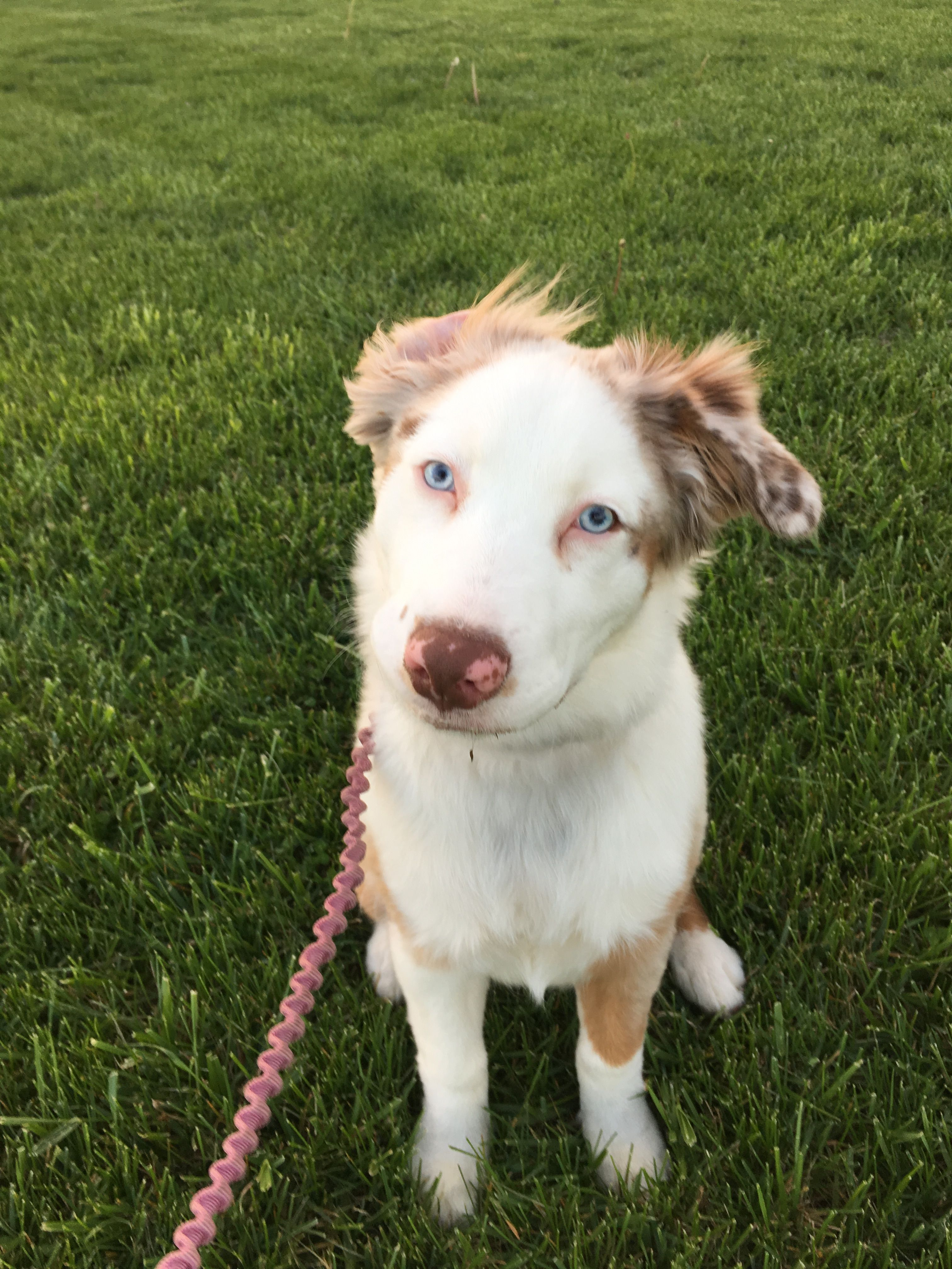 Anatolian Shepherd dog for Adoption in Columbus, IN. ADN