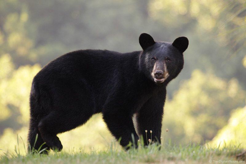 Facts about Black Bears - njfishandwildlife.com
