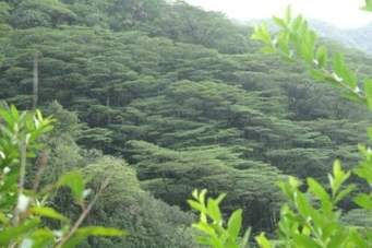 hawaii's trees - Ask.com Image Search