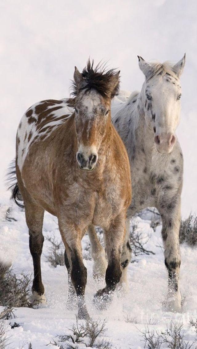 Download Beautiful Horses Samsung Galaxy Y S5360 Hd Wallpapers 4374007 Beautiful Horses Mobile9 Appaloosa Horses Horses Beautiful Horses