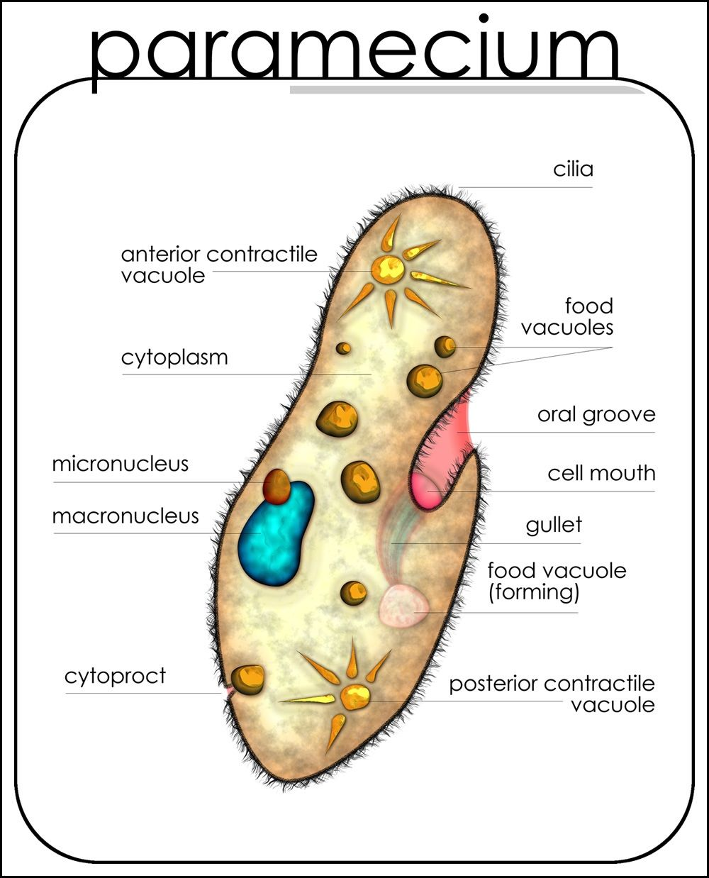 hight resolution of paramecium diagram labeled printable diagram