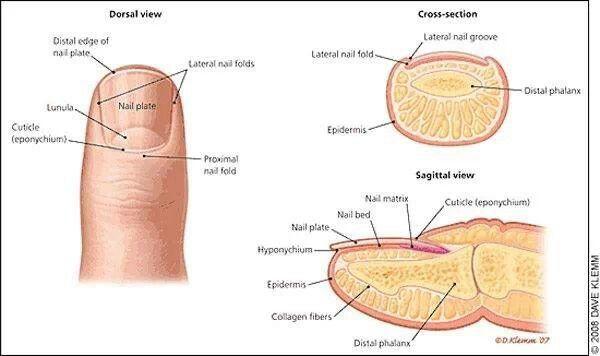 Hangnail Anatomy Pinterest Nails Nail Fungus And Toe Nails