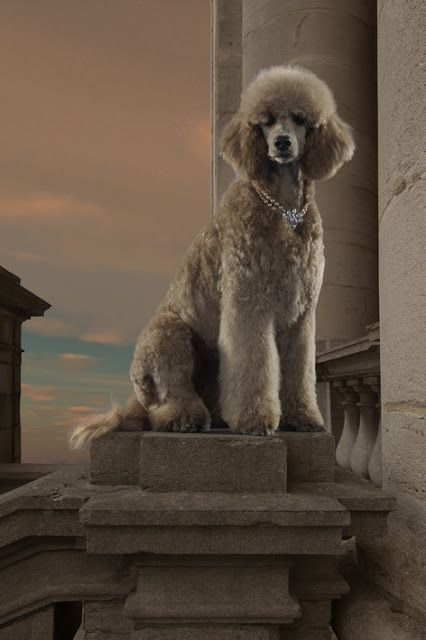 Poodle Dog Breed History Click The Picture To Read Poodle Dog