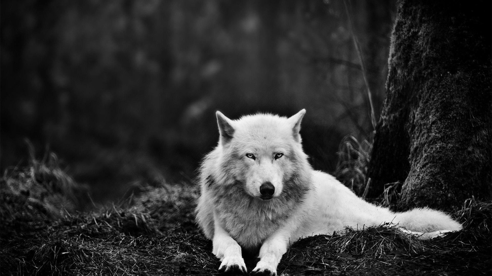 Download free lone wolf wallpapers for your mobile phone