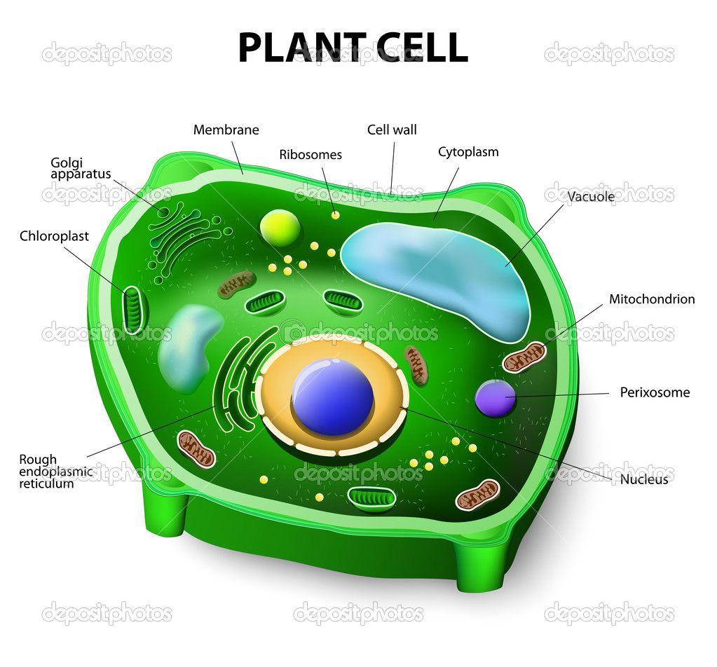 Celula Vegetal Caracteristicas En Ingles Resultados De