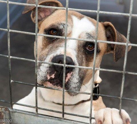 Sapphire 6 Year Old Female Mastiff Cross Dog For Adoption At Rspca Derby And District Dog Adoption Mastiffs Adoption