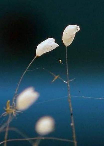 Удумбара - цветок с небес... уже прошло 3000 лет...  http://9tv.co.il/news/2014/06/17/178151.html