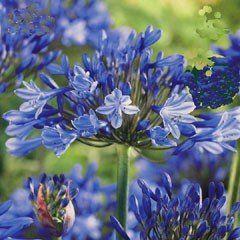 Spring Bulbs - Agapanthus Blue - Pack of 3 Bulbs