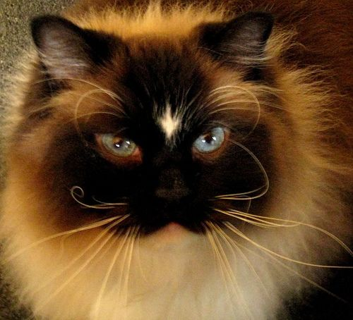 Seal Mitted W A Diamond Blaze Beautiful Cats Crazy Cats