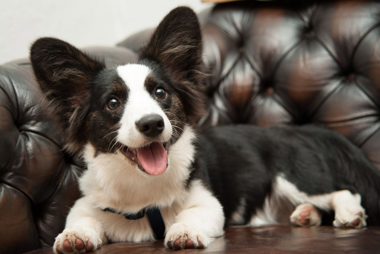 Cardigan Looks Like A Cross Between A Corgi And Border Collie