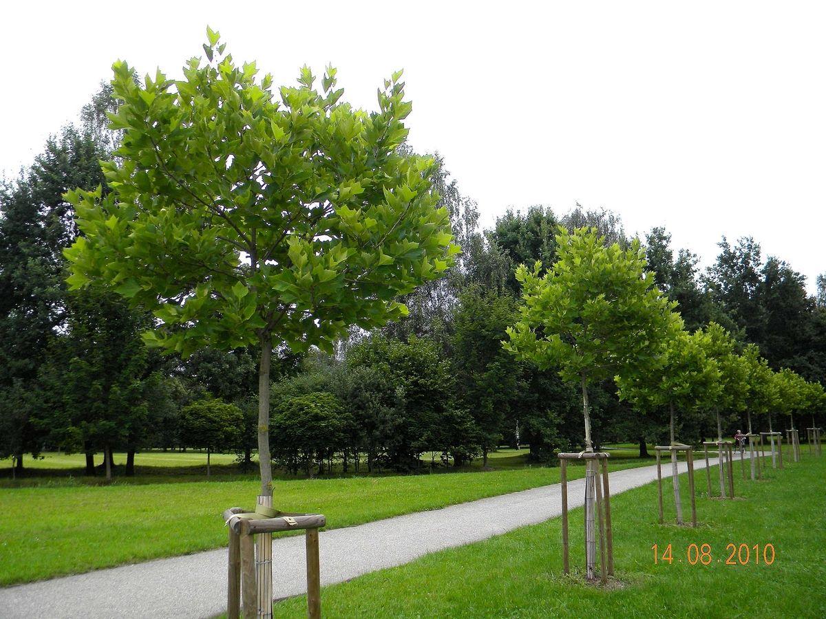 ulmus gladra camperdownii or u0027weeping elm tree u0027 landscape