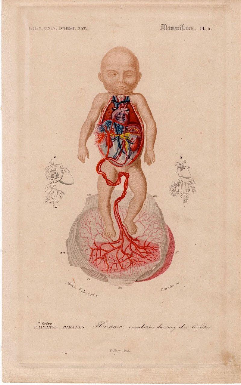 Grabado de anatomía del feto de 1894   Historia de la Medicina ...