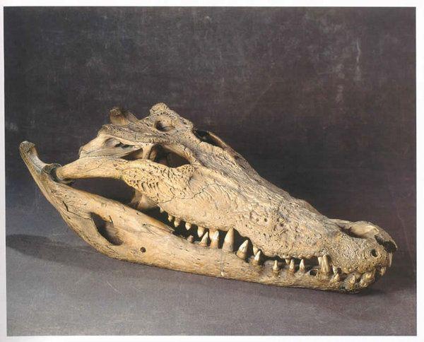 A Superb Old Specimen Of A Nile Crocodile Skull Crocodylus