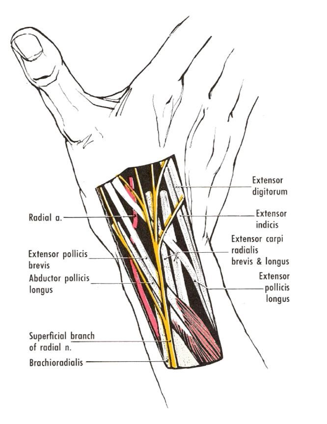 The Anatomical Snuff Box The Radial Artery Lies On The Floor Of The Snuff Box Which Is Formed By The Scaphoi Hand Therapy Medical Anatomy Medical Knowledge