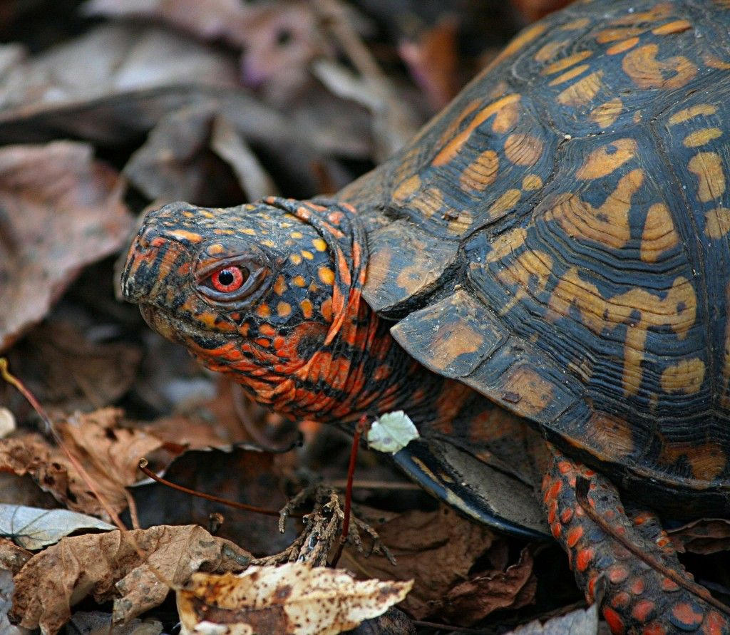 Slow and steady wins the race Box turtle, Turtle