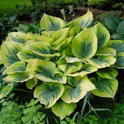 Hosta Liberty Zone 3 9 20 Tall And 3 Feet Widepartial Shade