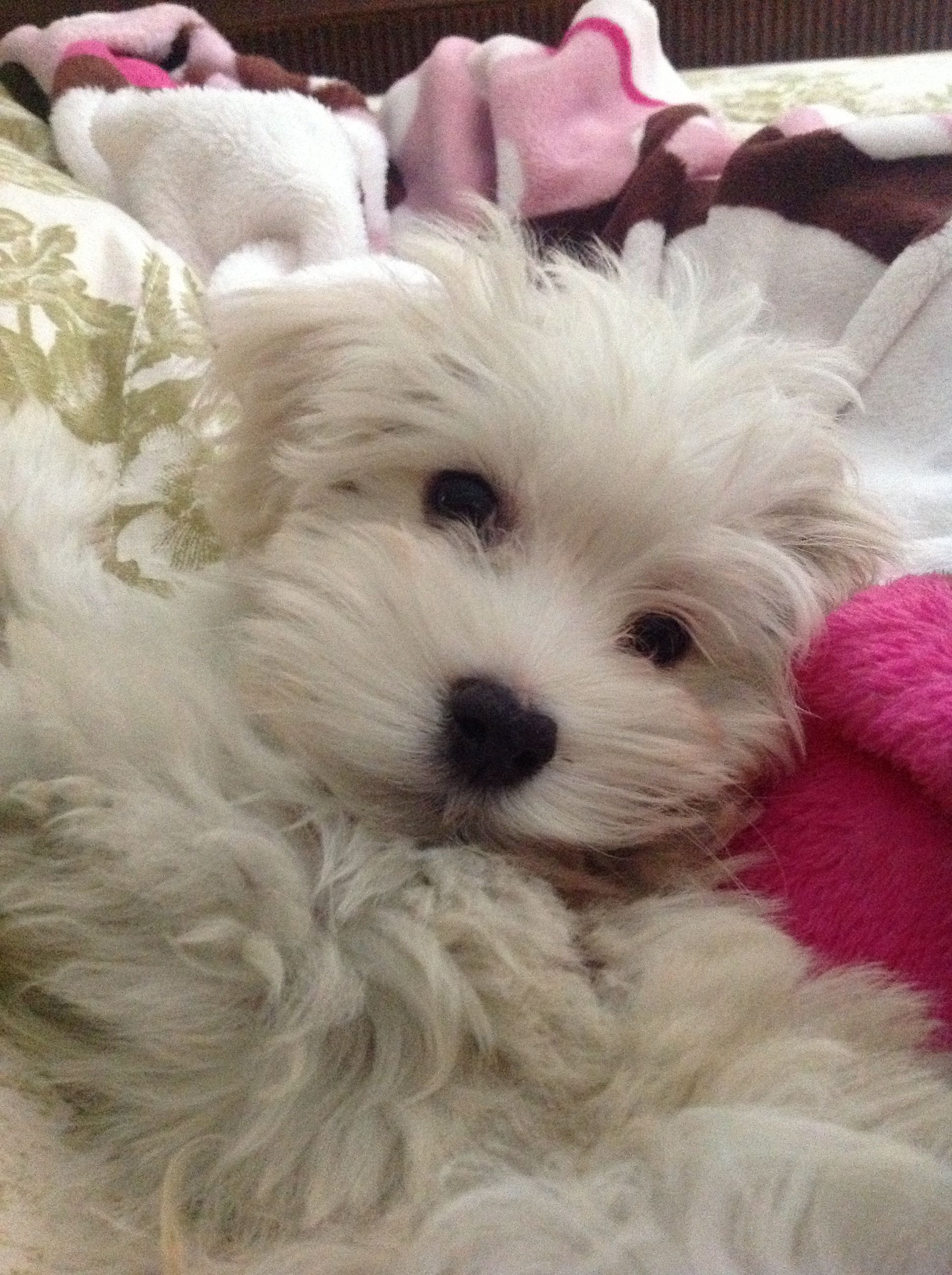 I Am In Love Xo Chauncey Our Havaton Cutest Dog Ever Cute Dogs