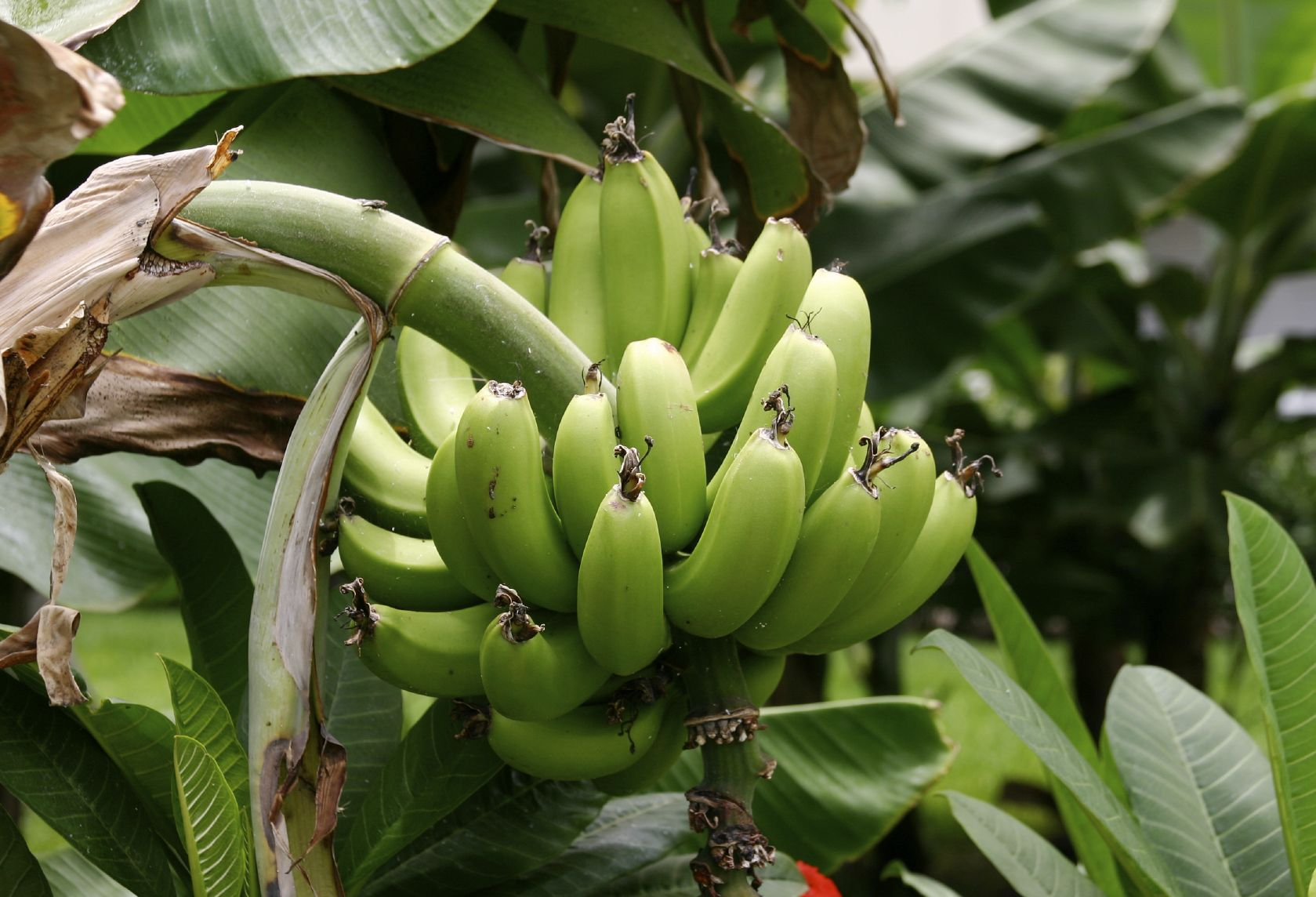 Caring For Plantain Trees Information On Growing Plantains Plantain Plant Plant Care Growing Vegetables