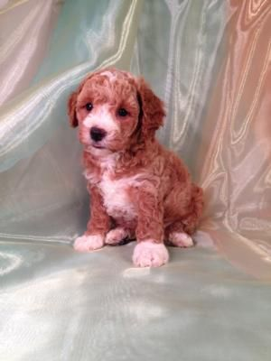 Red and White Cockapoo Puppiesfor sale by Iowa's top