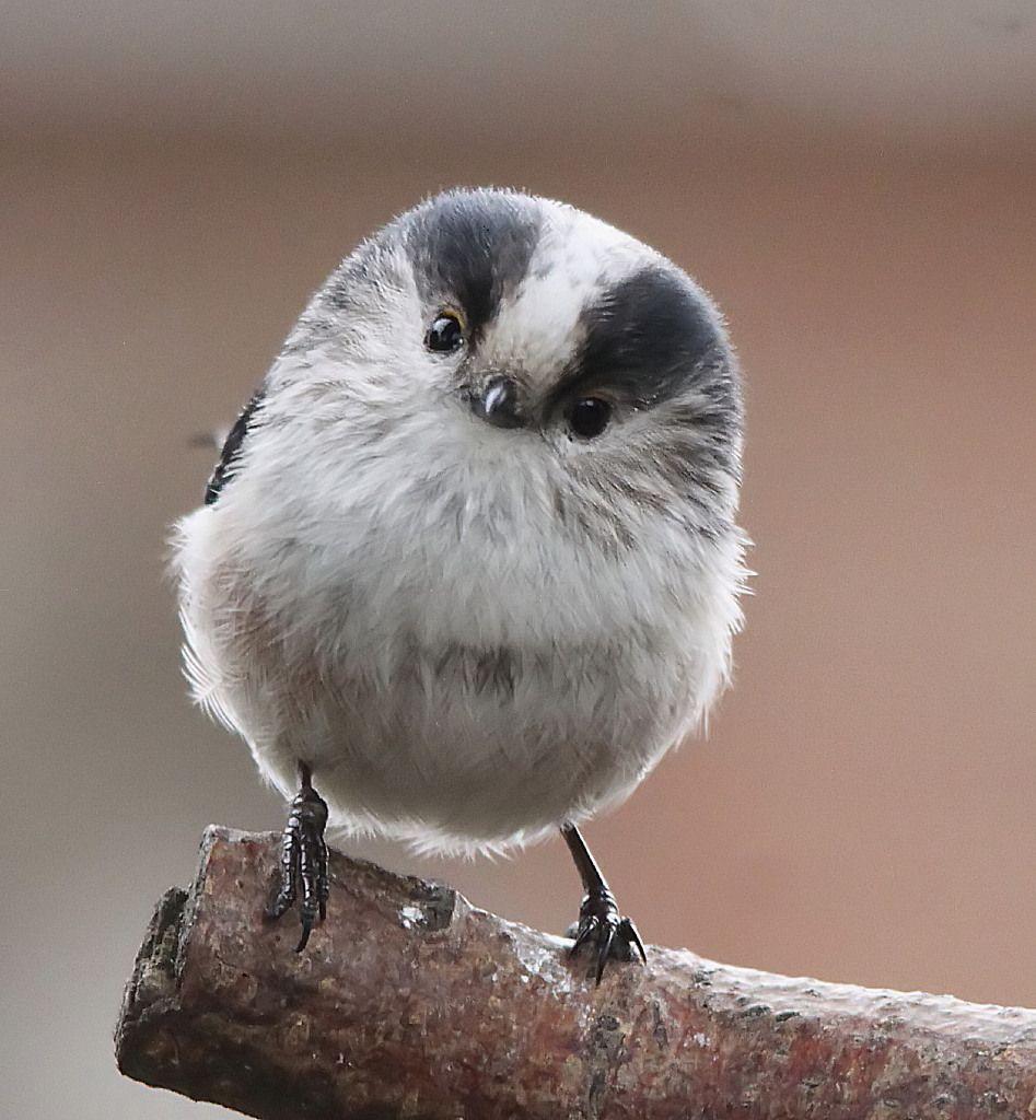 Long-tailed tit. Ahhh sooo cuuuttteee. Ahhh greeeaaat naaaammmee.
