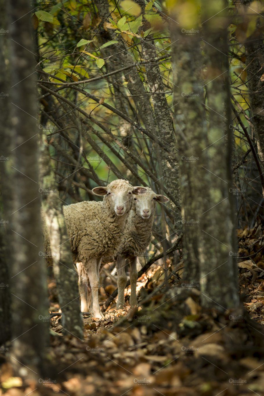 Sheep in forest among trees by on