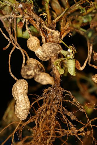 Peanut plant how does the groundnut grow gardens pinterest peanut plant how does the groundnut grow ccuart Image collections