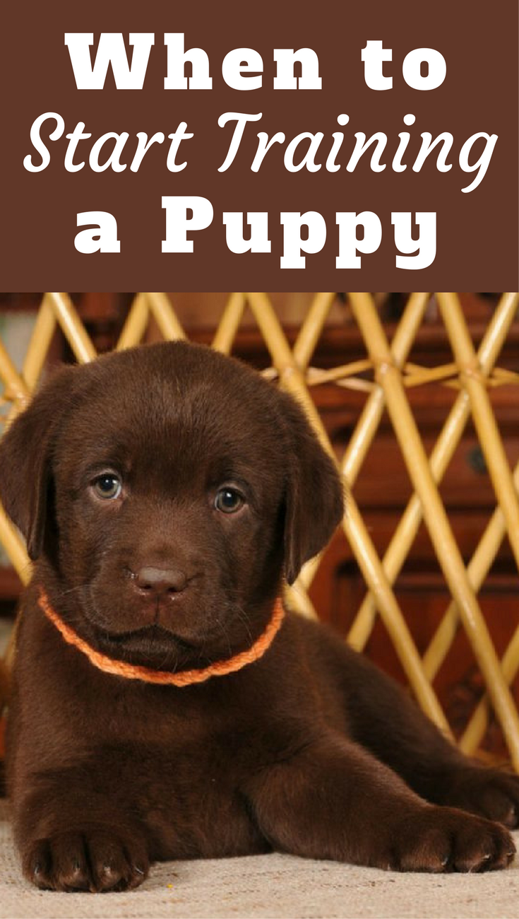 When To Start Training A Puppy? What Age Can You Begin