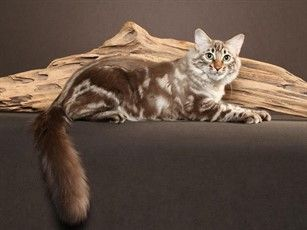 50a16dbfdd Wendy Symmes Fluffy Longhair (cashmere Bengal) with marble pattern. Bengal  Cats