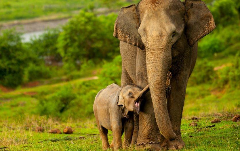 MOM AND BABY ASIAN @ INDIAN ELEPHANT (Aziatische ...