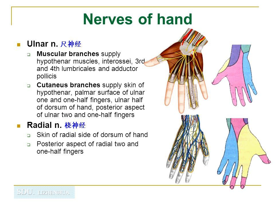 Anatomy Of Hand Nerve Supply Wrist And Ppt Video Anatomyskeletal