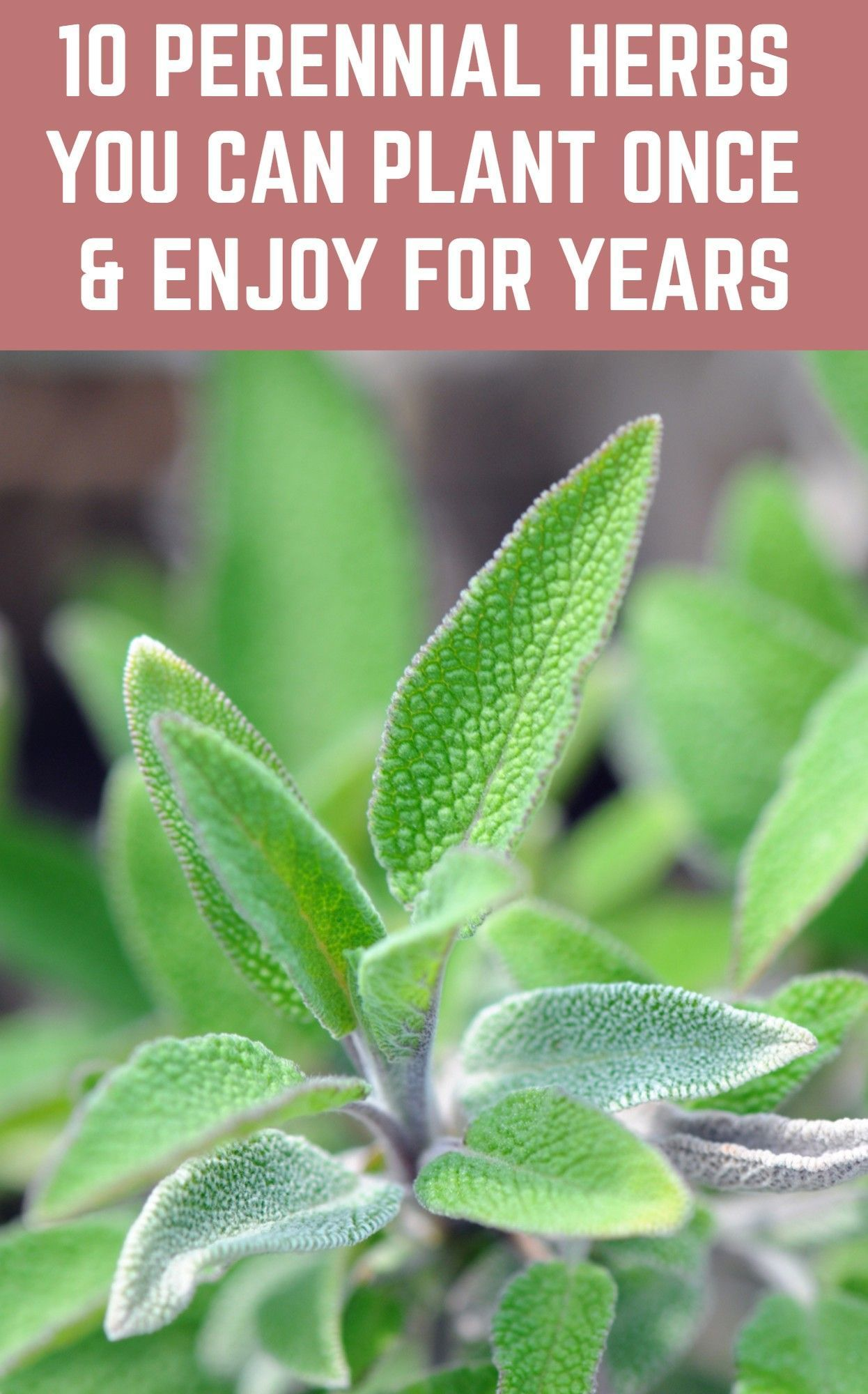 10 Perennial Herbs You Can Plant Once Enjoy For Years In 2020 Perennial Herbs Planting Herbs Plants