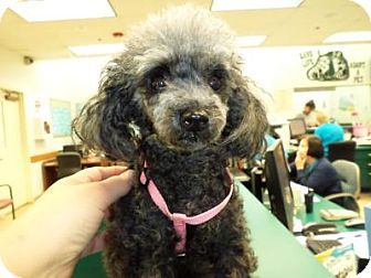 West Palm Beach Fl Toy Poodle Meet Lilly A Dog For Adoption