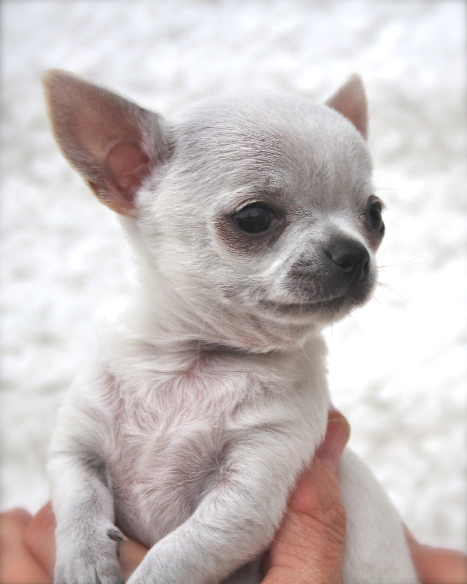 This Is Puppy We Were Going To Sell Her Which Was Why We Didn T Name Her But As She Was So Small Decided To Chihuahua Puppies Cute Chihuahua Cute Small Animals