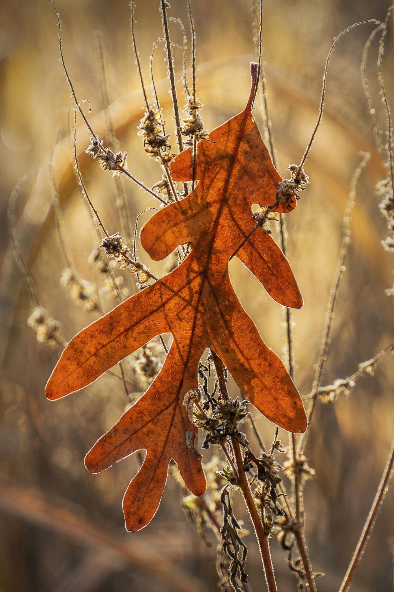 ˚Autumn Oak Leaf