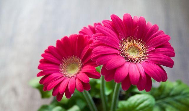 gerbera planta con una bonita flor para el interior de la casa