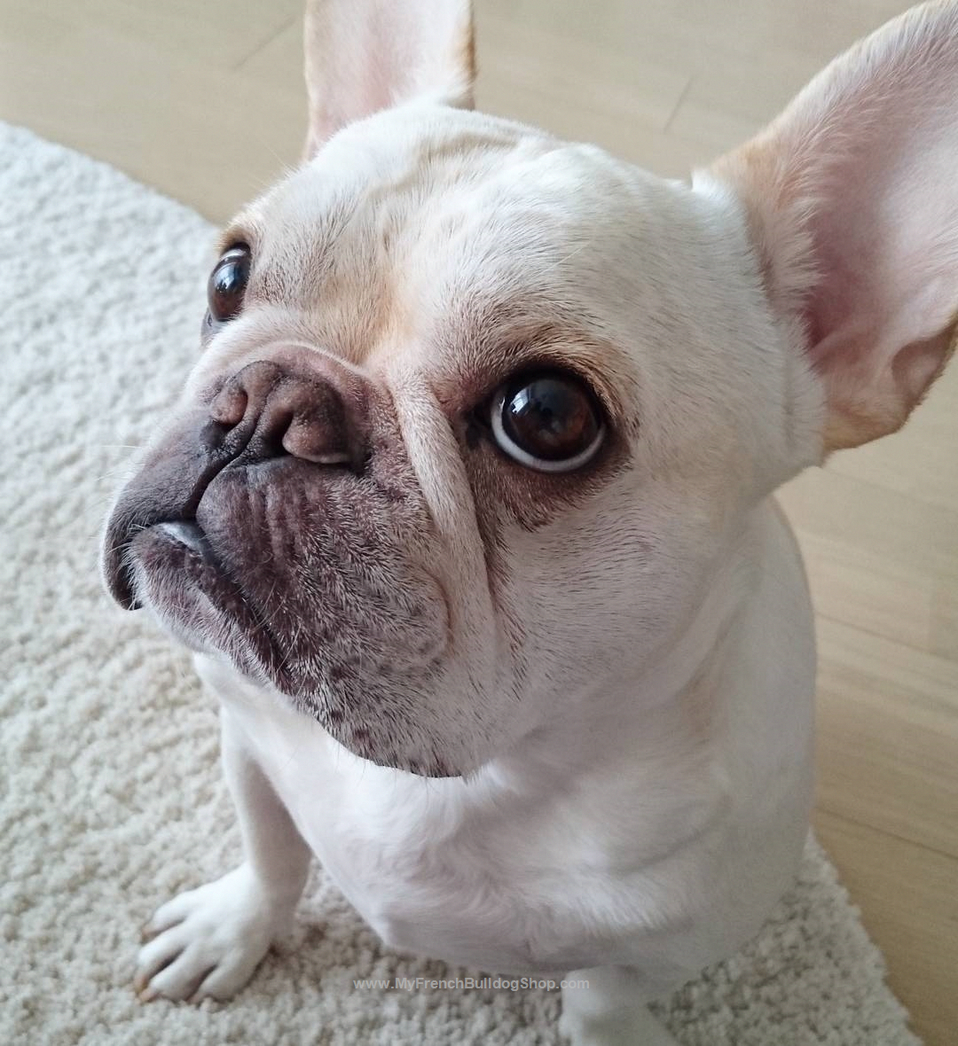 The Daily Frenchie French Bulldog Puppies Cute Puppies Dog Face