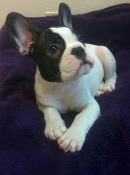 French Bulldog Puppy For Sale In Milwaukie Or Adn 20820 On Puppyfinder Com Gender Male Age 15 Weeks Old N Bulldog Puppies For Sale Bulldog French Bulldog