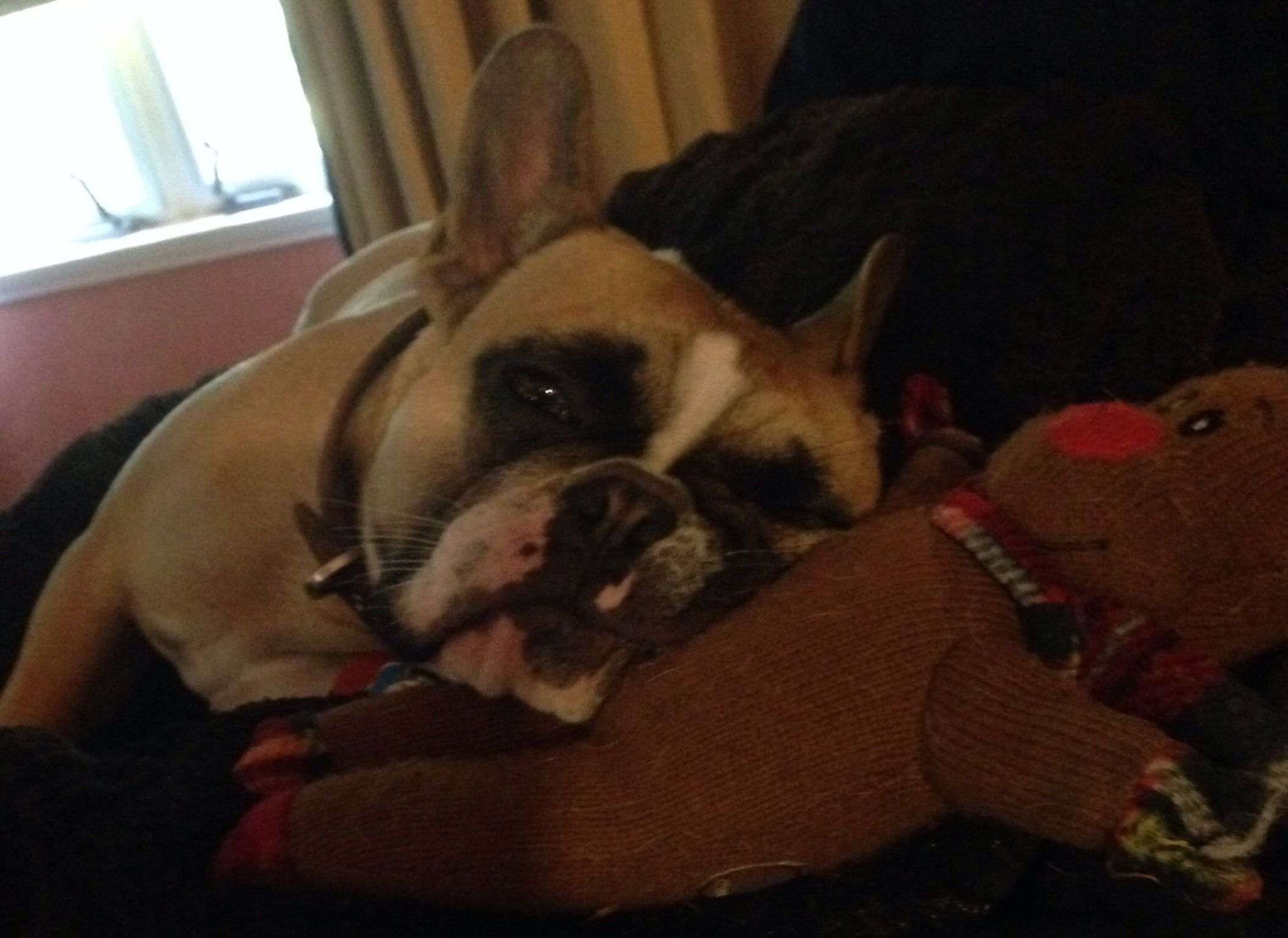 'You woke me up, this better be good', Francesca the French Bulldog is NOT Amused.