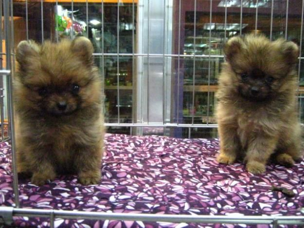 Pictures Of Teacup Pomeranian Puppies Orange Sable New Batch