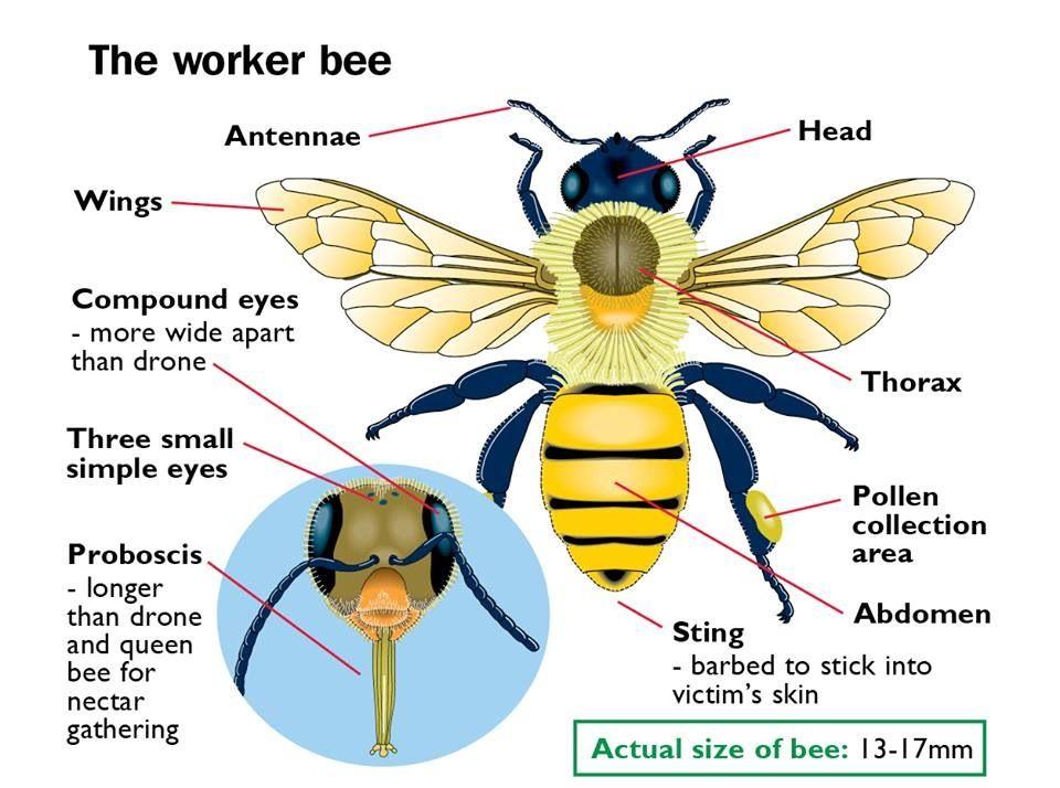 Bee Safe Bee Bee Diagram Bees For Kids