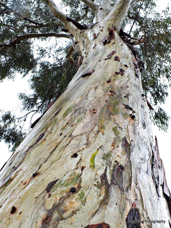 Eucalyptus in rain . Love the green bark.
