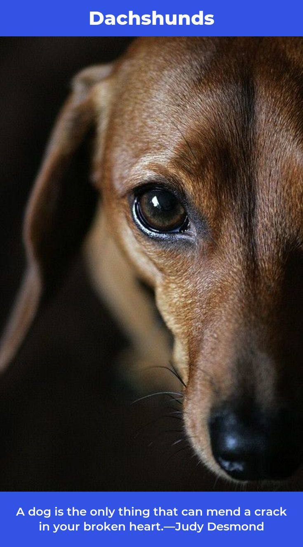 Daschund daschunds daschundsoflondon baby dogs dogs