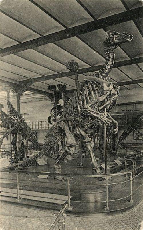 1920 - Un esqueleto de Iguanodon expuesto en el Museo de Bruselas, Bélgica