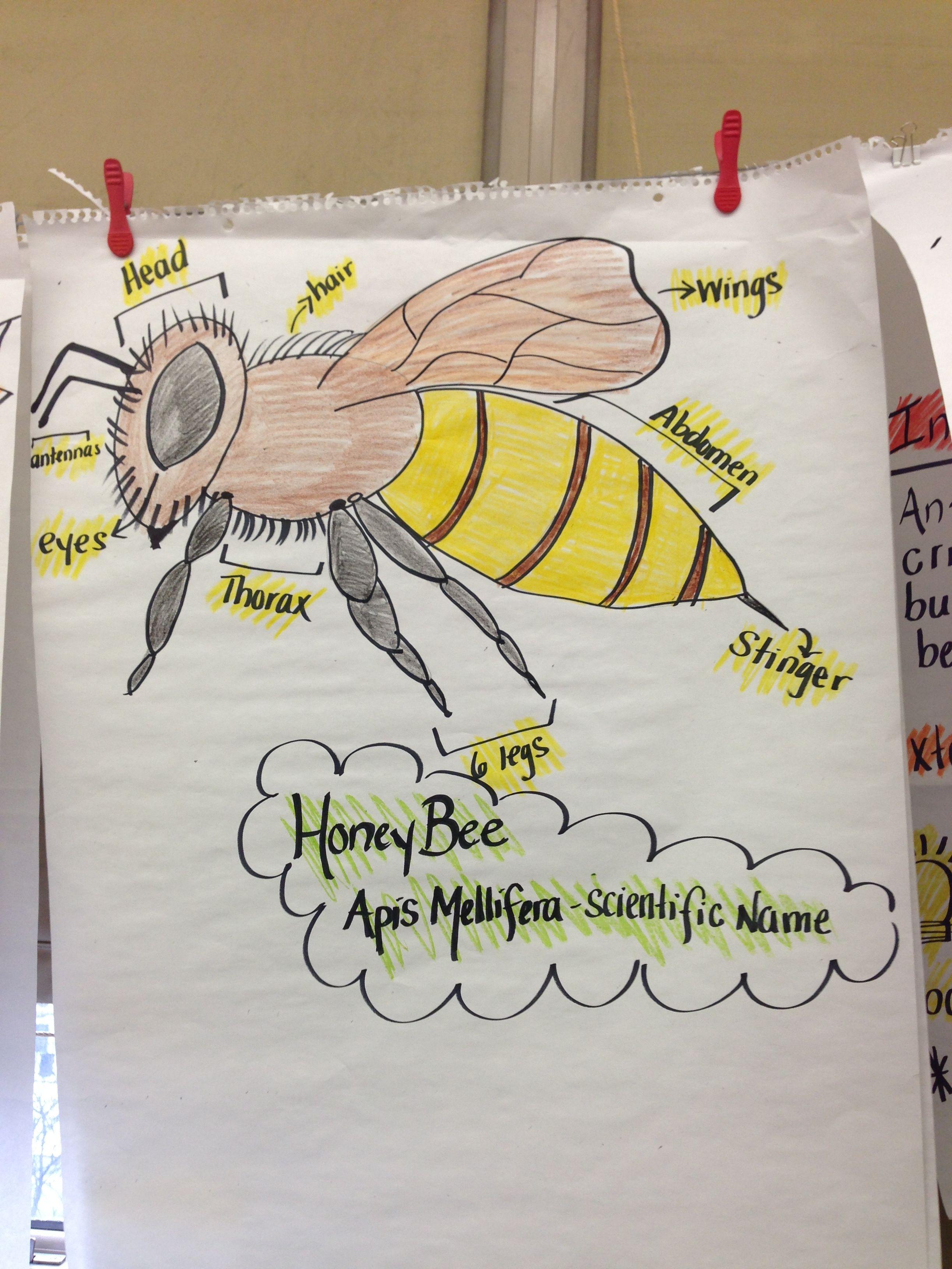 Honey bee diagram education pinterest anchor charts honey bee diagram ccuart Images