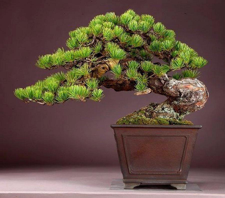 Bonsai bonsai pinterest garten pflanzen baum und garten for Bonsai pflanzen