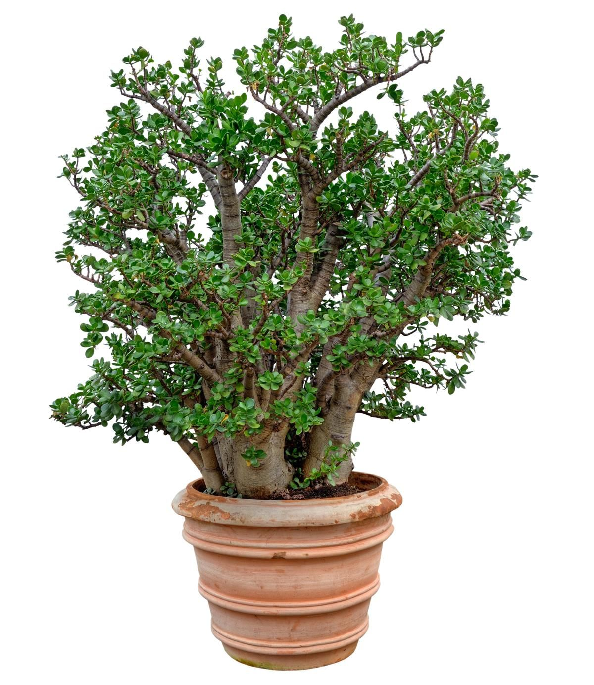 With Small Potted Plants Pruning Is Needed To Reduce The Leaf Coverage And Maintain A Pleasing Appearance The Jade Plants Jade Plant Pruning Money Tree Plant