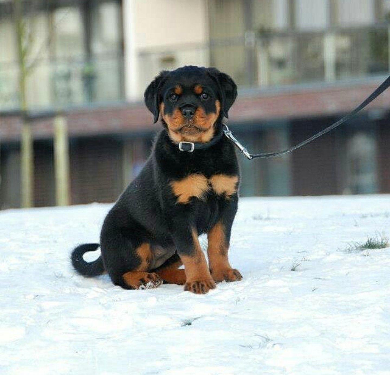 Pin By Tara Mcleod On Rottweilers Hd Dog Photos Funny Dog Photos