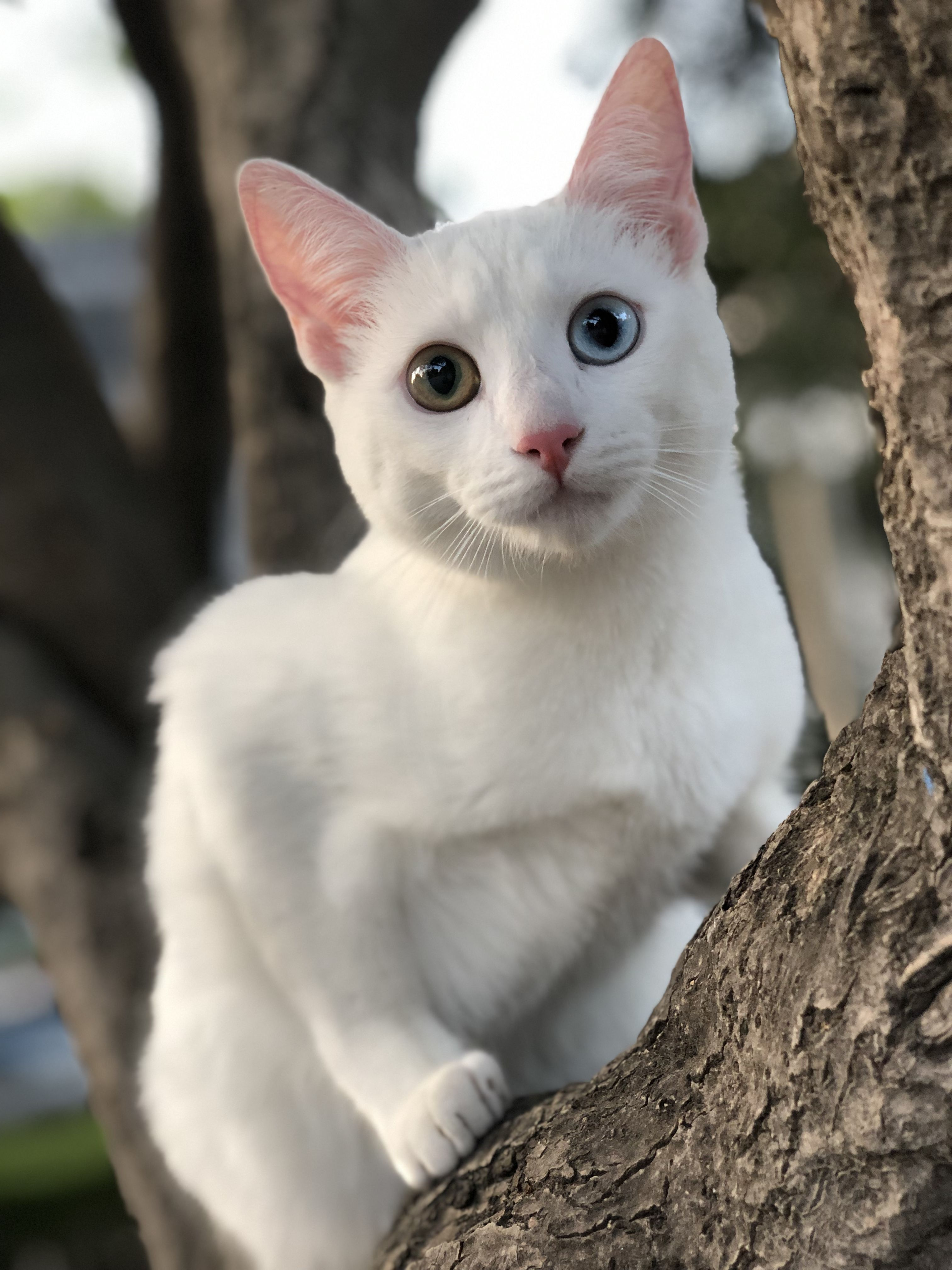 American White Kitten How To Understand Your Cats In 2020 Cute Animals Cat Breeds Cats And Kittens